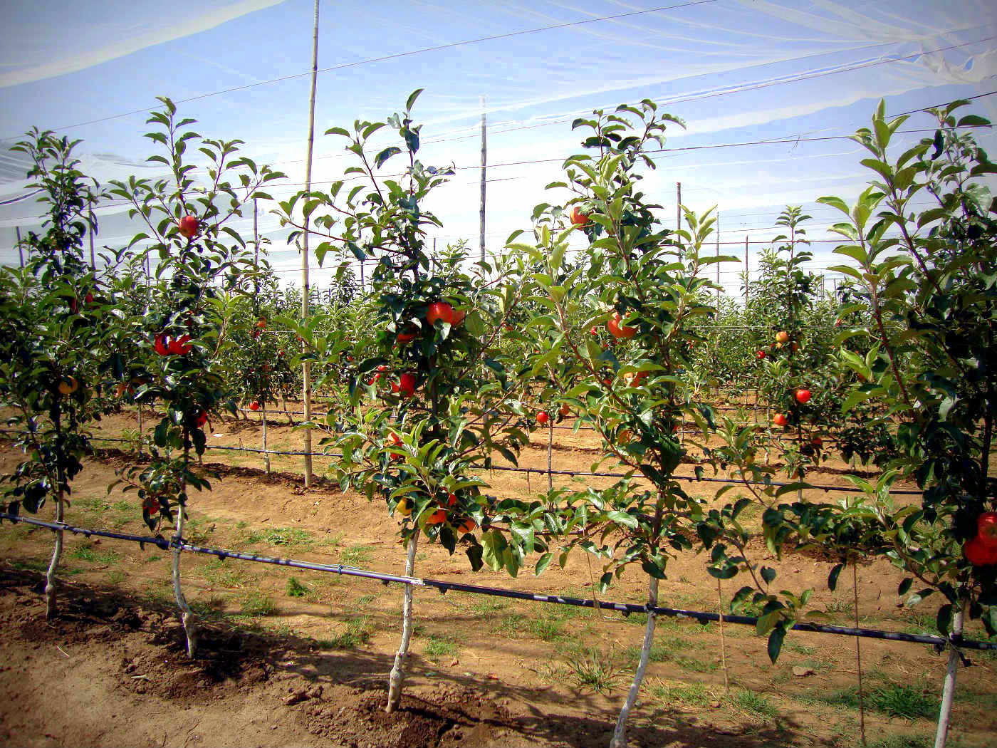 High Density Orchard